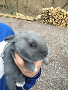 American Rabbit - blue