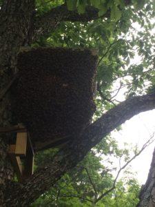 Swarm trap day 1