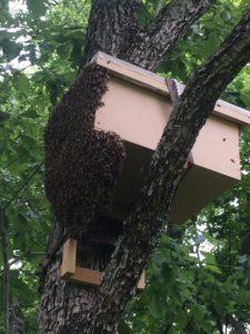 Swarm trap day 1 side view
